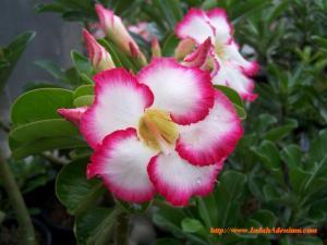 Putih & Pink, Cuanttiikk